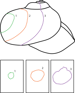 Three tomograms through a generalized diagram of a snail. The three slices are then able to be presented as slices (bottom) through the shell. Modified from Sutton (2008) and Sutton et al. (2014).